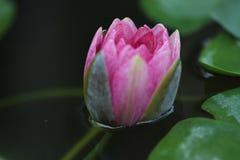 Zigeuner Roze Waterlily Stock Afbeeldingen