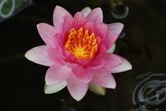 Zigeuner Roze Waterlily Royalty-vrije Stock Afbeeldingen