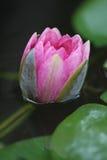 Zigeuner Roze Waterlily Royalty-vrije Stock Afbeelding