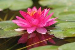 Zigeuner Roze Waterlily Royalty-vrije Stock Foto's