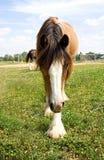 Zigeuner Vanner-Pferd Stockbild