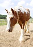 Zigeuner Vanner-Pferd Stockfotografie