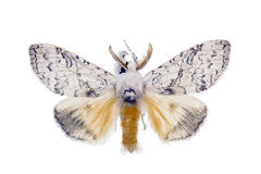 Zigeunermotte, Lymantria antennata Lizenzfreie Stockbilder