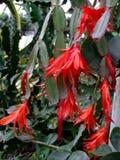 Zigokaktus kwitnie czerwonych kwiaty w ogródzie botanicznym Zdjęcia Royalty Free