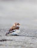 Zigolo delle nevi maschio nell'inverno Fotografie Stock