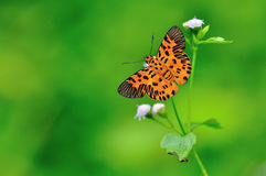 Zigzag Flat Butterfly. Yellow Butterfly flower on green background Royalty Free Stock Photo
