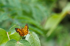 The Zigzag Flat (Odina decoratus) Butterfly Stock Photography