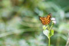 The Zigzag Flat (Odina decoratus) Butterfly Royalty Free Stock Image