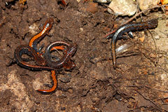 Zigzag Salamanders (Plethodon ventralis) Stock Image