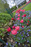 Zigzag from tulips. With blue flowers Stock Photo