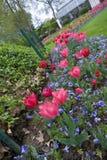 Zigzag van tulpen Stock Foto
