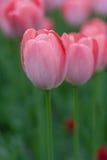 Zij dichte omhooggaande mening van de zon die op de geopende knoppen roze tulp toenemen Royalty-vrije Stock Foto