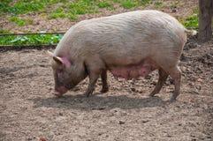Zij portret van varken Stock Afbeeldingen