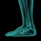 Zij x-ray mening van menselijke voet en enkel vector illustratie