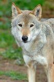 Zij-wolf Royalty-vrije Stock Foto