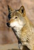 Zij-wolf Stock Foto