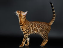 Zijaanzicht Bengalen Cat Looking omhoog royalty-vrije stock afbeelding