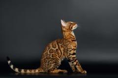 Zijaanzicht Bengalen Cat Looking omhoog royalty-vrije stock afbeeldingen