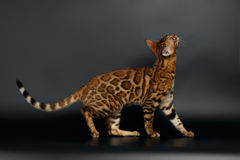 Zijaanzicht Bengalen Cat Looking omhoog stock fotografie