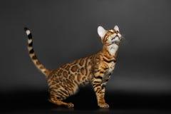 Zijaanzicht Bengalen Cat Looking omhoog royalty-vrije stock fotografie