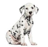 Zijaanzicht die van een Dalmatische puppyzitting, de camera bekijken Royalty-vrije Stock Foto's