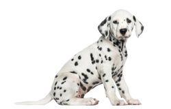 Zijaanzicht die van een Dalmatische puppyzitting, de camera bekijken Royalty-vrije Stock Fotografie