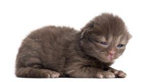Zijaanzicht die van een Hoogland rechtstreeks of vouwenkatje, oude 1week liggen Stock Afbeelding