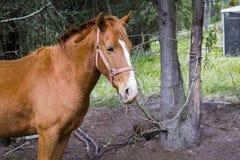 zijaanzicht die van een paard bij zijn middagpauze, in een landbouwbedrijf lopen Stock Foto's