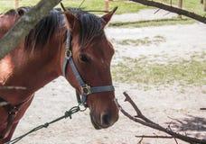zijaanzicht die van een paard bij zijn middagpauze, in een landbouwbedrijf lopen Stock Afbeeldingen