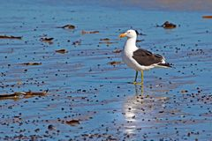 Zijaanzicht die van Kelpzeemeeuw zich op strand bevinden royalty-vrije stock afbeelding