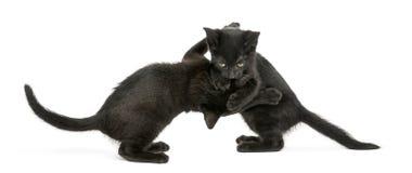 Zijaanzicht die van twee Zwarte katjes, 2 geïsoleerde maanden oud, spelen Stock Afbeelding