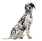 Zijaanzicht van Dalmatische hond, het zitten Royalty-vrije Stock Afbeeldingen