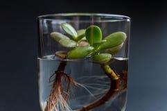 Zijaanzicht van de glasfles met schoon water en groene succelntinstallatie binnen het leggen op de donkere achtergrond Concept va Stock Foto