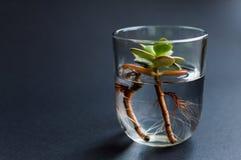 Zijaanzicht van de glasfles met schoon water en groene succelntinstallatie binnen het leggen op de donkere achtergrond Concept va Royalty-vrije Stock Afbeelding