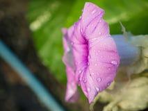 Zijaanzicht van de Roze Baby Houten Rose Ivy Flowers royalty-vrije stock fotografie