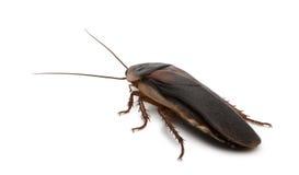 Zijaanzicht van Dubia kakkerlak, dubia Blaptica Stock Foto's