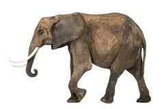 Zijaanzicht van een Afrikaanse olifant stock afbeeldingen