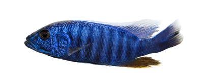 Zijaanzicht van een Elektrische Blauwe Hap, Sciaenochromis-geïsoleerde ahli, royalty-vrije stock foto
