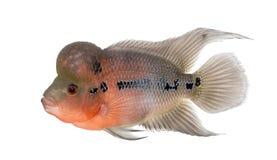 Zijaanzicht van een het Leven Legende, Flowerhorn cichlid stock afbeelding