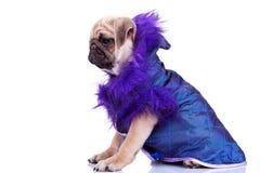 Zijaanzicht van een leuke pug puppyhond die kleren draagt Royalty-vrije Stock Foto