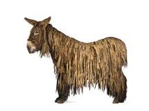 Zijaanzicht van een Poitou-ezel, op wit wordt geïsoleerd dat stock afbeelding