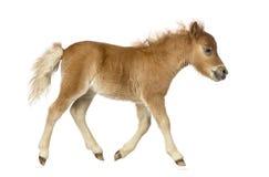 Zijaanzicht van een poney, veulen die tegen witte achtergrond draven Royalty-vrije Stock Afbeelding
