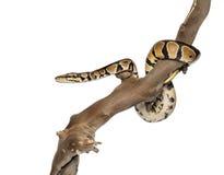 Zijaanzicht van een Python koninklijk op een tak Stock Fotografie
