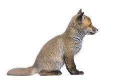 Zijaanzicht van een Rode voswelp (6 Weken oud) - Vulpes v stock afbeelding