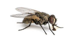 Zijaanzicht van een vuile Gemeenschappelijke huisvlieg die, Musca-domestica eten Stock Afbeeldingen