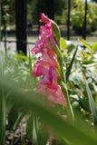 Zijaanzicht van Gladiolen met roze bloemen stock afbeelding