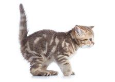 Zijaanzicht van grappig weinig Schots recht kattenkatje Geïsoleerdj op witte achtergrond royalty-vrije stock foto's