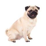 Zijaanzicht van grappige die pug hond op wit wordt geïsoleerd Royalty-vrije Stock Afbeelding