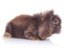 Zijaanzicht van het aanbiddelijke konijnkonijntje liggen Royalty-vrije Stock Afbeeldingen