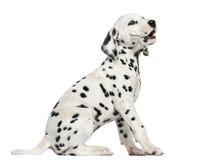 Zijaanzicht van het Dalmatische puppy ontschorsen, geïsoleerd zitten, royalty-vrije stock fotografie
